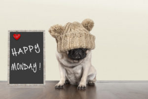 cute pug puppy dog with bad monday morning mood, sitting next to blackboard sign with text happy monday withcopy space