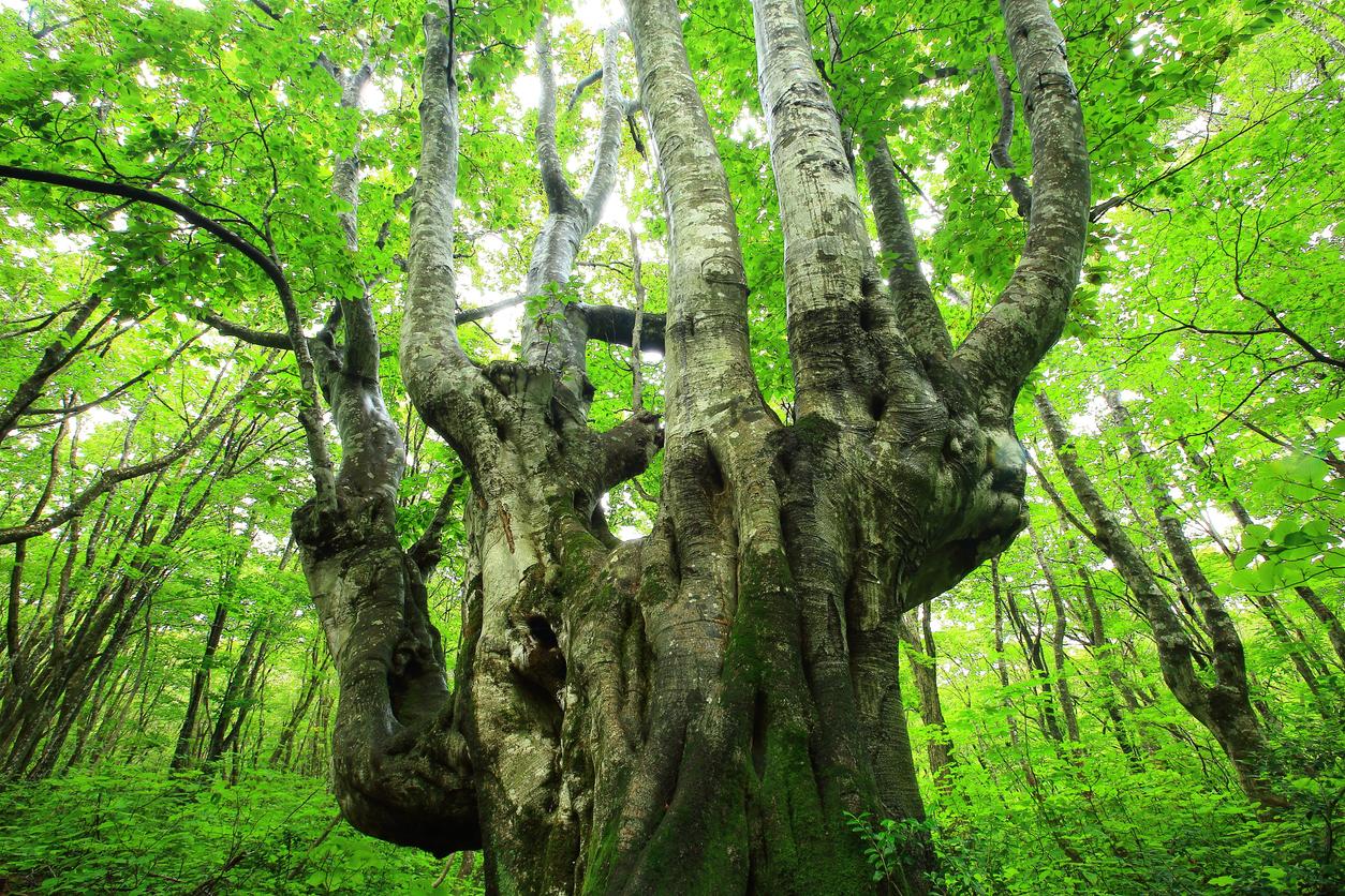 Akita summer beech forest